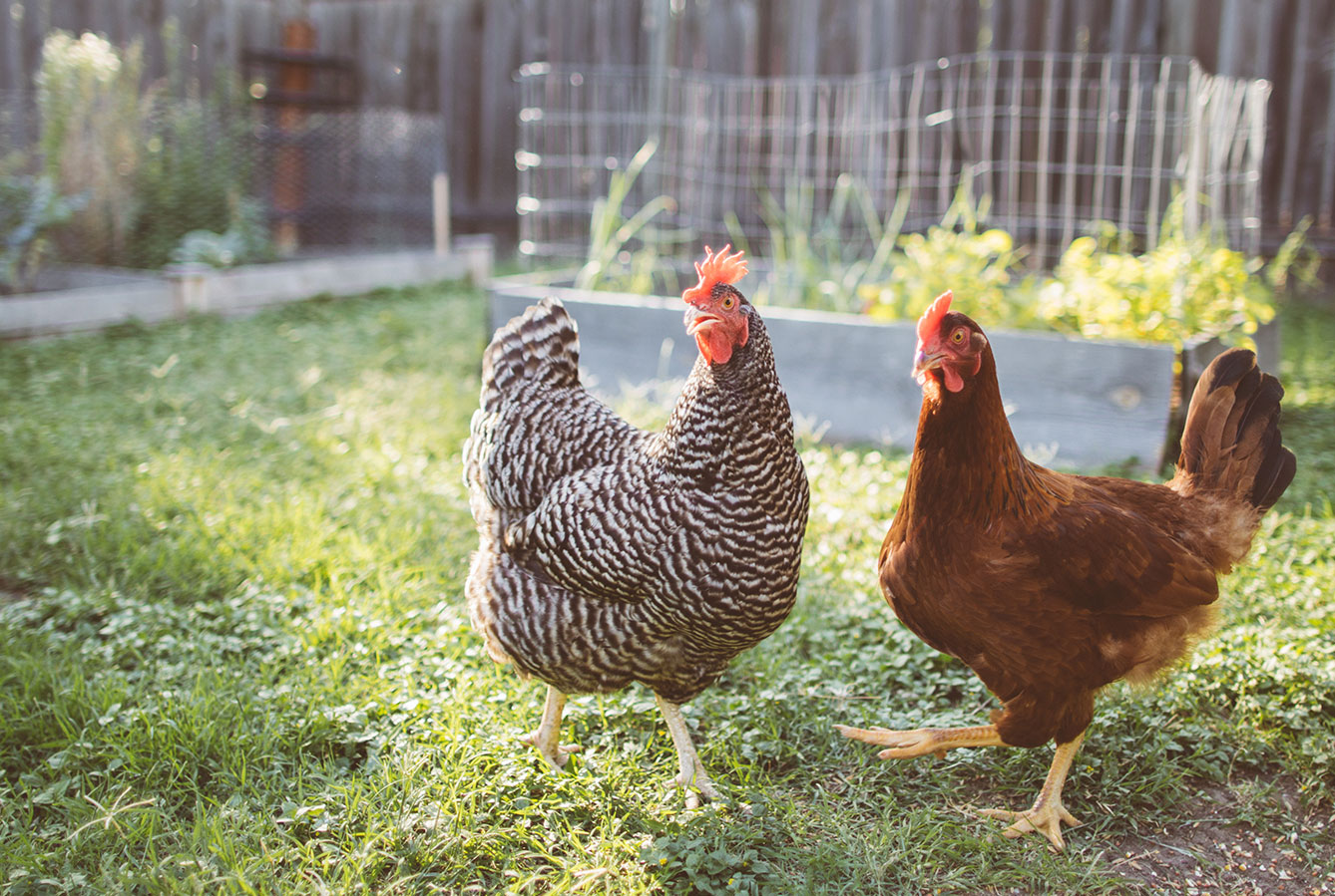 chickens in home garden
