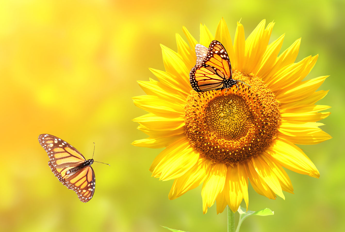 Monarch butterflies and sunflower