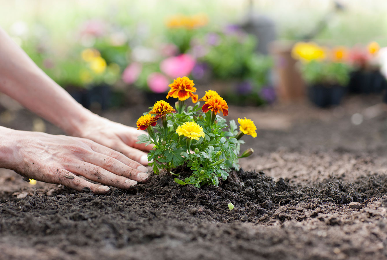 Planting marigold flowers