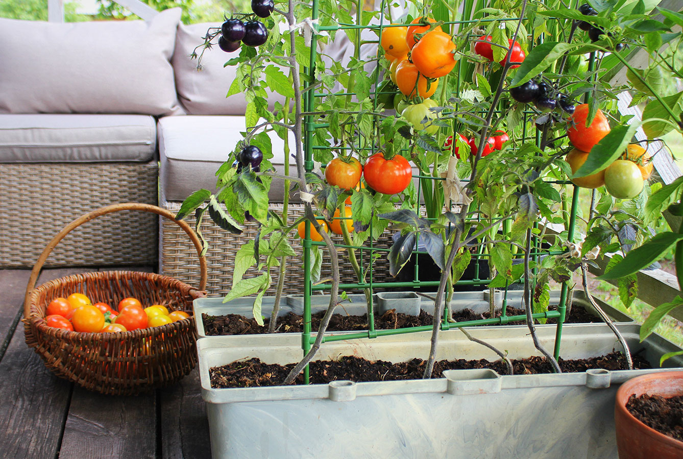 tomatoes in planters